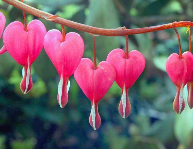 bleeding-heart-flowers-images